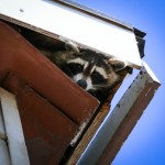 Raccoon in the Attic: Home Inspections Gone Wrong
